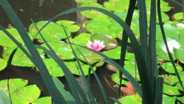 Bild von Seerosen auf dem Mattenweiher