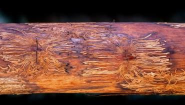 Bild von Baumstamm mit Borkenkäferbefall